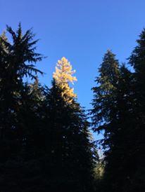 fall tamarack